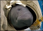 If You See A Manatee, Be Cool Video