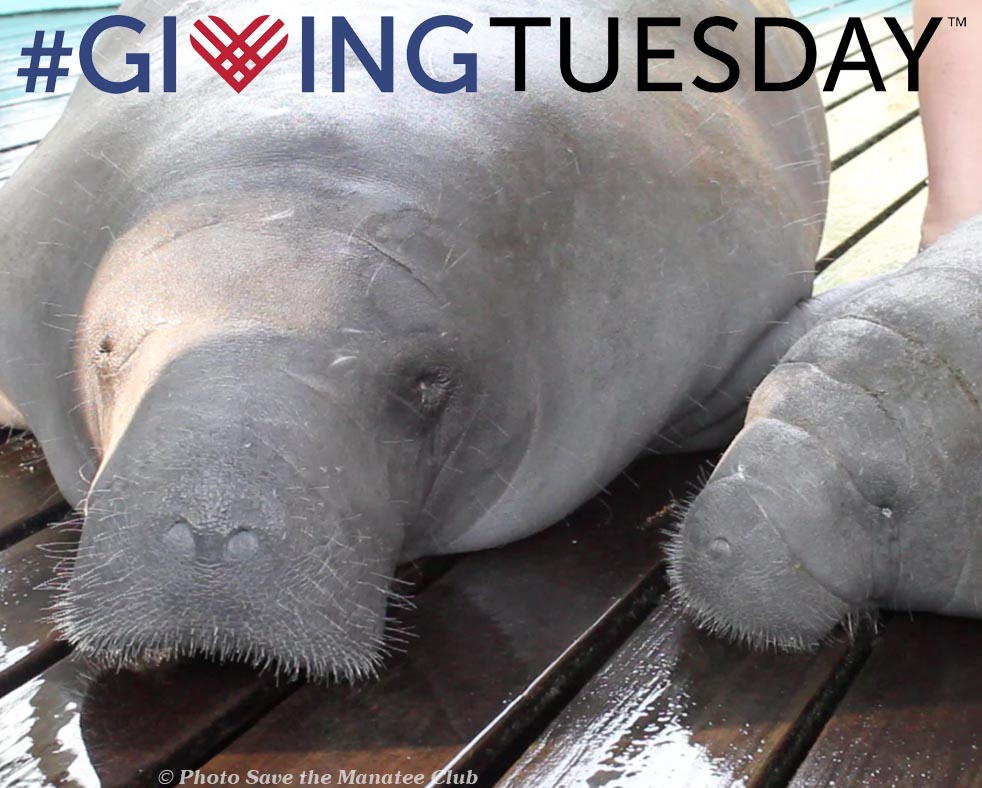 Giving Tuesday_Manatee Rescue