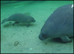 Phyllis the manatee and her calf.