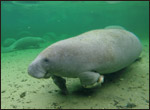 Una the manatee with infected flipper