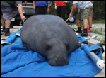 Una the manatee is prepared for release.