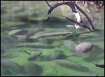 Blue Spring manatee aggregation