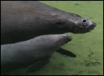 Phyllis the manatee and her new calf.
