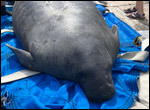 Chessie the manatee is prepared for release.
