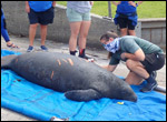Jesup the manatee is prepared for release.