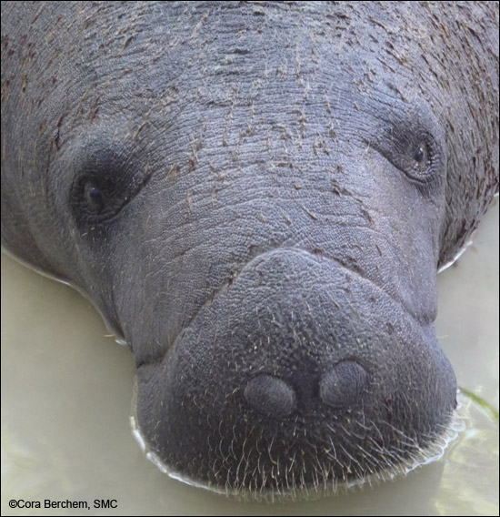 Closeup view of a manatee.
