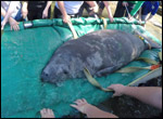 Ralphie the manatee is released