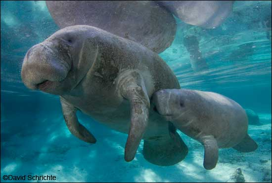 David Schrichte manatee mother and calf photo