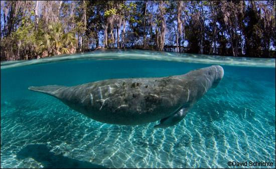 Manatee swimming by David Schrichte