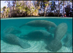 A group of manatees by David Schrichte