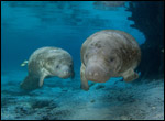 David Schrichte photo of two manatees