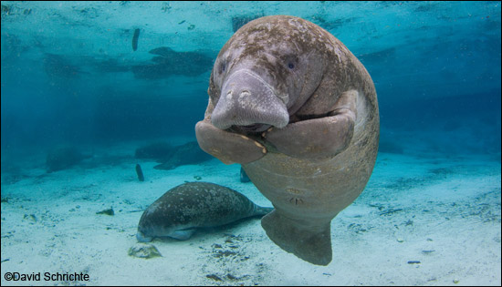 Manatee photo by David Schrichte