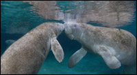 Manatees touching snouts