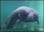 Annie the manatee and her calf