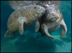 Two manatees.