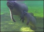 manatee nursing calf