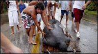 Manatee rescue after storm surge