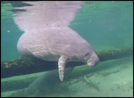 Manatee resting on a log