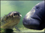 An alligator and a manatee.