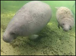 Two manatees