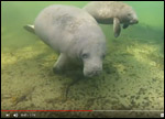 Rescued manatee