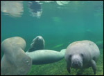 Underwater view of manatees