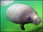Wayne Hartley manatee photo